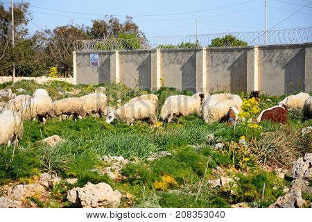 DINGLI, MALTA - APRIL 1, 2017 - Sheep and goats grazing on scrubland by Dingli Aviation radar station Dingli Malta Europe, April 1, 2017.