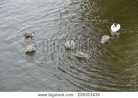 Young Swan In Family On A River Water