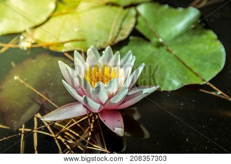 Waterlily in garden pond with yellowish water. Close up shot