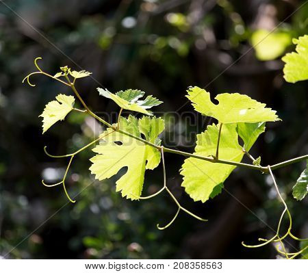 young branches of grapes on nature . In the park in nature