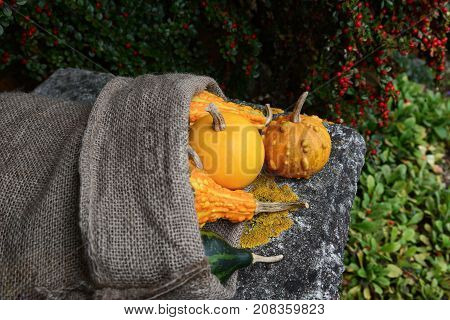 Smooth And Warty Ornamental Gourds Spilling From Burlap Sack