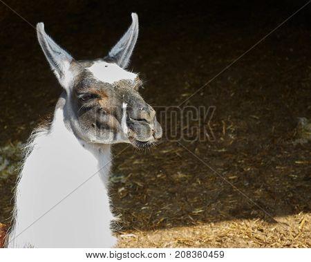 a cute llama rest in the farm