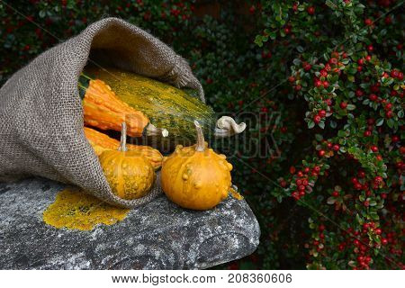 Hessian Sack Overflowing With Orange And Green Warty Gourds