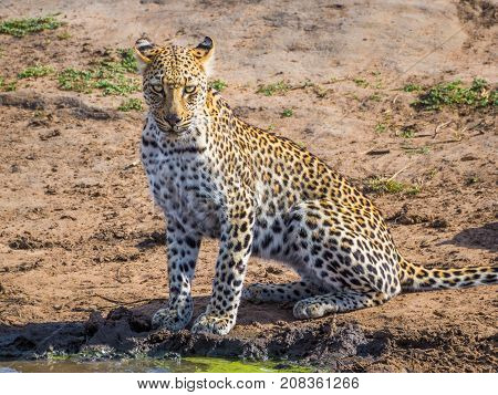 Beautiful young leopard with intensive eyes looking at photographer at waterhole, Kruger National Park, South Africa, Africa.