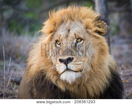 Portrait of beautiful male lione with large mane looking dreamily into distance, Kruger National Park, South Africa, Africa