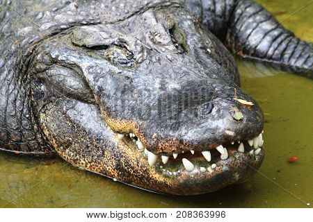 Crocodile Is Resting In The Water