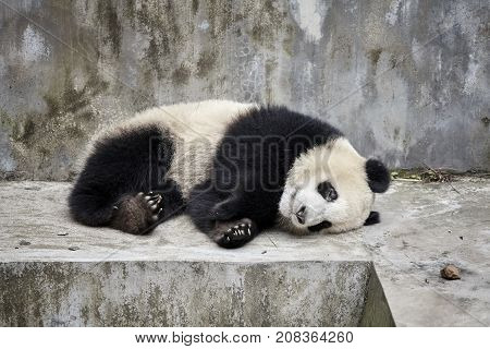 Picture of a resting giant panda, Chengdu in China.