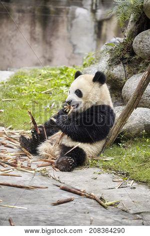 Giant panda eats bamboo, Chengdu in China.