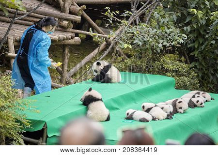 Chengdu, China - September 28, 2017: Eleven Baby Pandas First Public Display At Chengdu Research Bas
