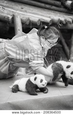Chengdu, China - September 28, 2017: Baby Pandas First Public Display At Chengdu Research Base Of Gi
