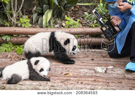 Chengdu, China - September 28, 2017: Journalist Filming Baby Pandas First Public Display In Chengdu