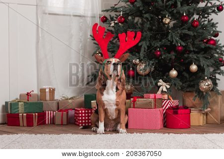 Beagle With Toy Antlers And Christmas Gifts