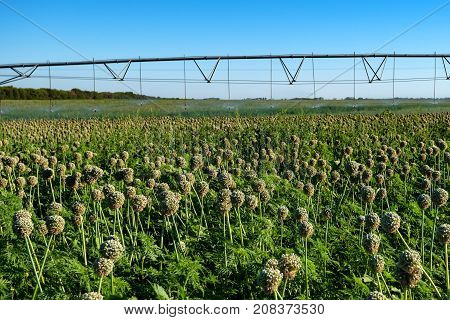 Green field with drip irrigation system hanging above it against blue sky