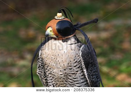 Portrait of Peregrine Falcon Falco peregrinus with cap