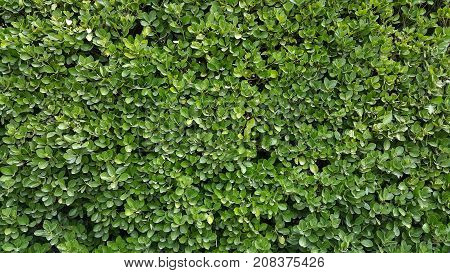 Green leaves wall hedge as background of fresh boxwood Buxus Sempervirens Rotundifolia