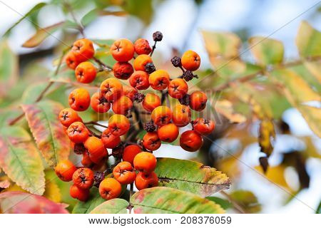 Mountain rowan fruits ashberries. Autumn harvest still life scene. Soft focus blurred background photography