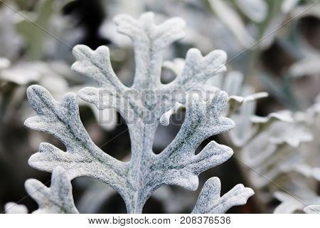 Beautiful decorative silvery wooly curly leaves ornamental plant Jacobaea maritima Senecio cineraria bicolor. Macro view selective focus.