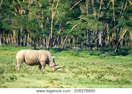 White rhinoceros or Ceratotherium simum grazing in savannah of national park Lake Nakuru, Kenya