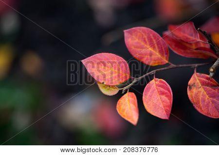 Red leaves shrub on dark blurred background. Autumn season backdrop. Shallow depth of field, soft focus