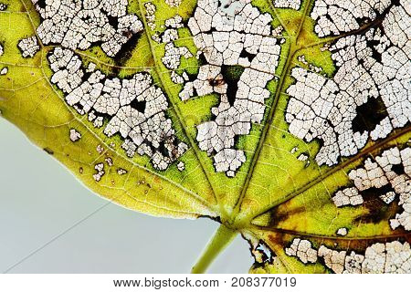 Macro view autumn leaf texture skeleton pattern. Natural variability colors change in nature. Organic aging leaves process. Green yellow brown color plant surface, transparent structure
