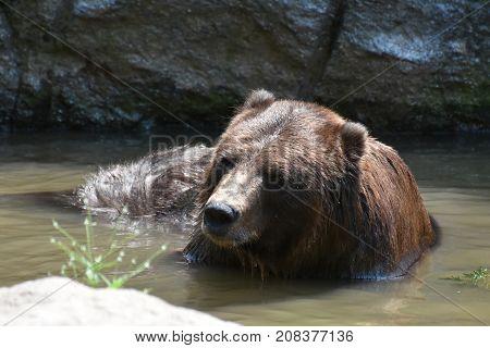 Brown kodiak bear bathing in the wild waters