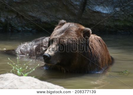 Wild brown grizzly in the wild bathing itself