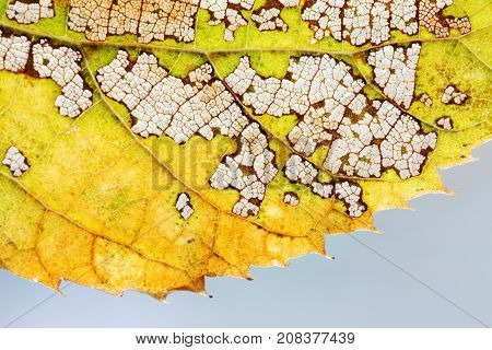 Seasons changes concept. Colorful autumn aspen leaf skeleton textured pattern macro view. Green yellow brown color, transparent organic structure aging plant