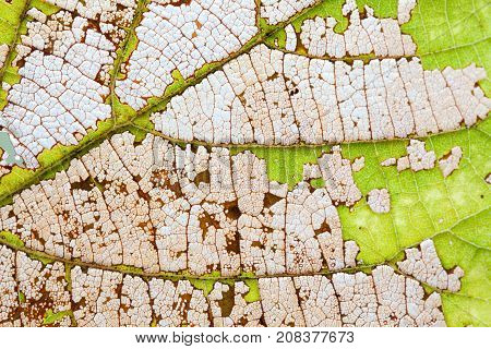 Natural changes colorful autumn leaf aging process. Macro view aspen leaves texture, organic transparent pattern. close-up photography, selective focus.