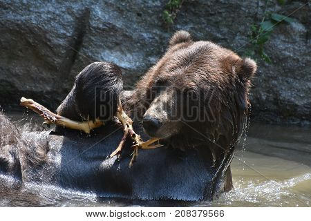 A wet brown grizzly playing with a tree branch while bathing