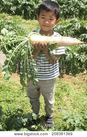 Japanese Boy Digging Japanese Radish (first Grade At Elementary School)