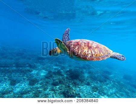 Sea turtle swims in sea water. Olive green sea turtle closeup. Life of tropical coral reef. Marine tortoise undersea. Tropic seashore ecosystem. Big turtle in blue water. Sea animal underwater photo