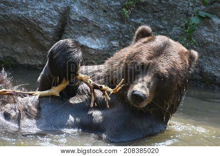 Wild peninsuar bear floating in on its back while bathing.