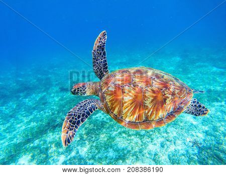 Sea turtle swims in sea water. Big green sea turtle closeup. Wildlife of tropical coral reef. Tortoise undersea. Tropic seashore ecosystem. Big turtle in blue water. Aquatic animal underwater photo
