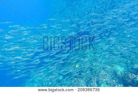Sardines school carousel in blue ocean water. Massive fish school undersea photo. Silver fish swimming in seawater. Mackerel shoal for commercial fishing. Oceanic wildlife underwater. Seafish photo