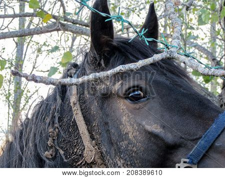 Portrait Eye of the horse. The horse looks at the photographer through a fence of wooden sticks and barbed wire.