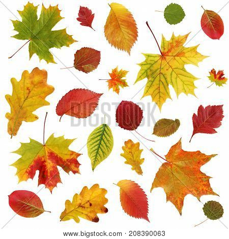 Autumn background with falling red and yellow leaves of oak maple aspen elm and others.