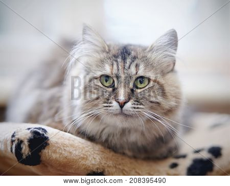 Beautiful fluffy domestic cat with green eyes