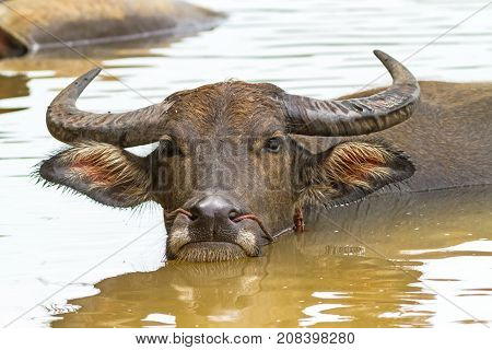 The black local buffalo hides in water from a heat on natural light