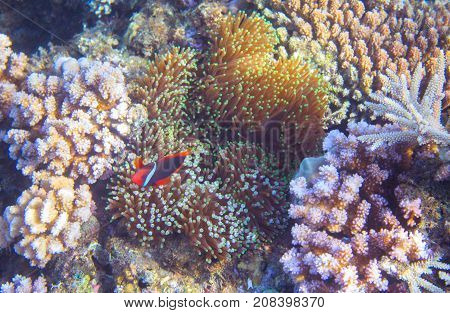 Underwater landscape with tropical fish. Clownfish in actinia. Tropical seashore underwater photo. Coral reef and anemonefish. Sea fish and corals. Undersea view of marine life. Coral reef landscape