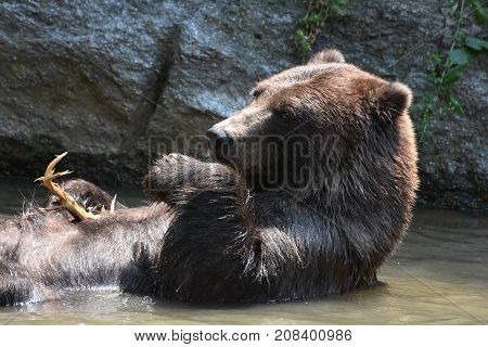Brown slivertip bear floating while bathing in the wild