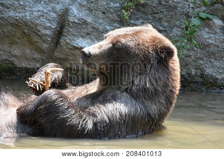 Wild silvertip grizzly floating on its back in the wild