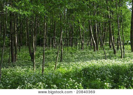 Frühling-Wald mit mehreren weißen Wildblumen