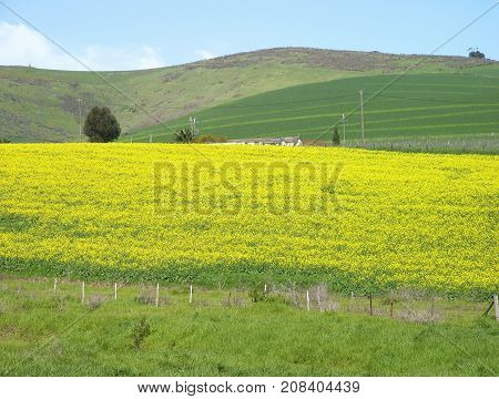 SUMMER LANDSCAPE, WITH YELLOW AND GREEN FIELDS IN THE FORE GROUND AND HILLS IN THE BACK GROUND 06v