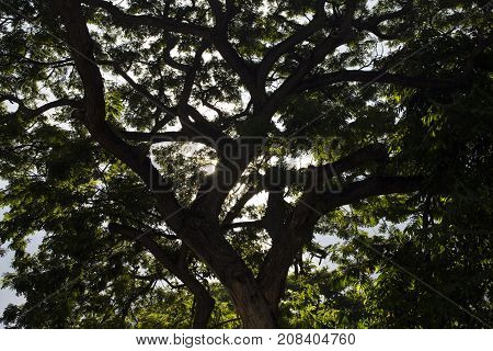 Big green tree with wide branches in backlight of sun. Green trees on sunny blue sky background. Tropical tree branch with green leaf pattern. Nature and environment banner. Sunny park summer greenery