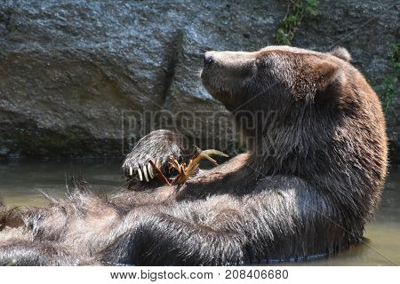Brown Kodiak grizzly floating on its back while folding its arms