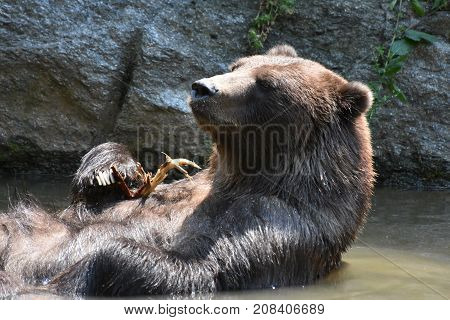 Wild brown silvertip grizzly floatiing in the water