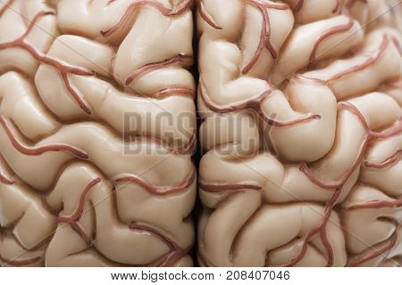 Macrophotography of human brain model demontrating cerebral cortex and arteries
