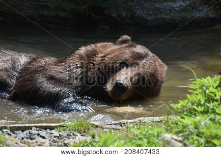 Wild Silvertip grizzly floating on its side while bathing in the water