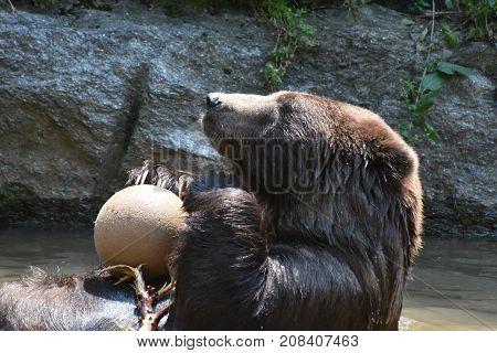 Cute brown kodiak bear plaing with a ball while bathing