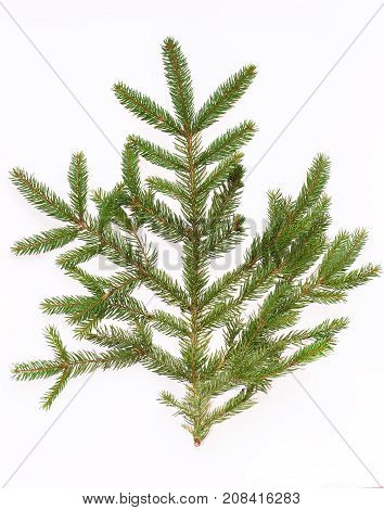 spruce branches on a white background. isolate. for New Year's collage